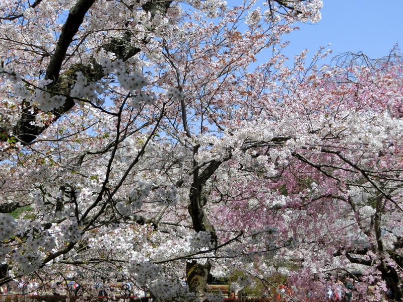 奈良公園での桜の画像
