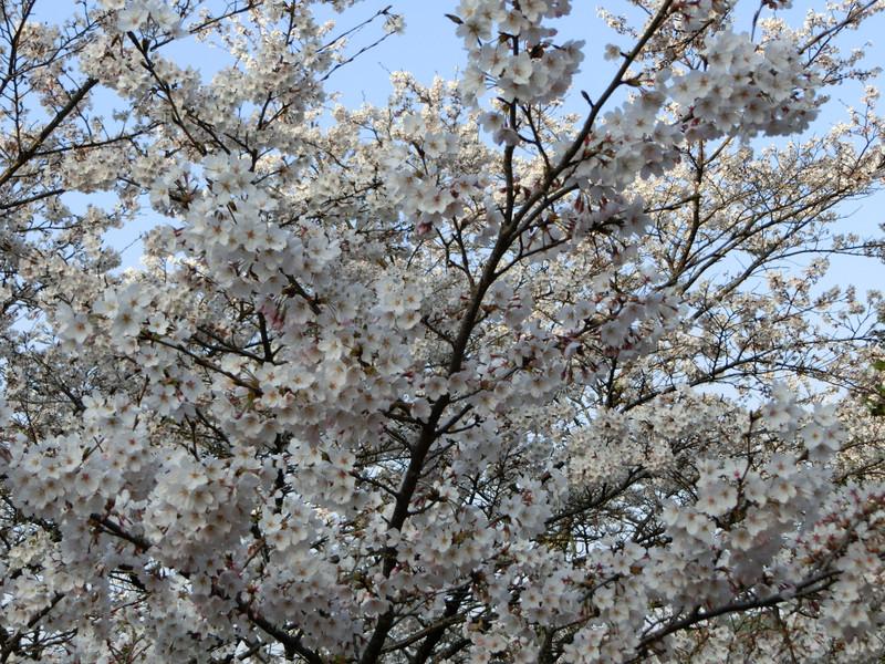 吉野山下千本エリアの桜の画像